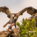 Osprey Babe was Having Lunch!