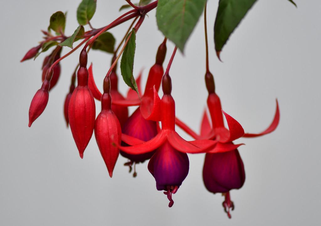 ~Fuchsia~ by crowfan