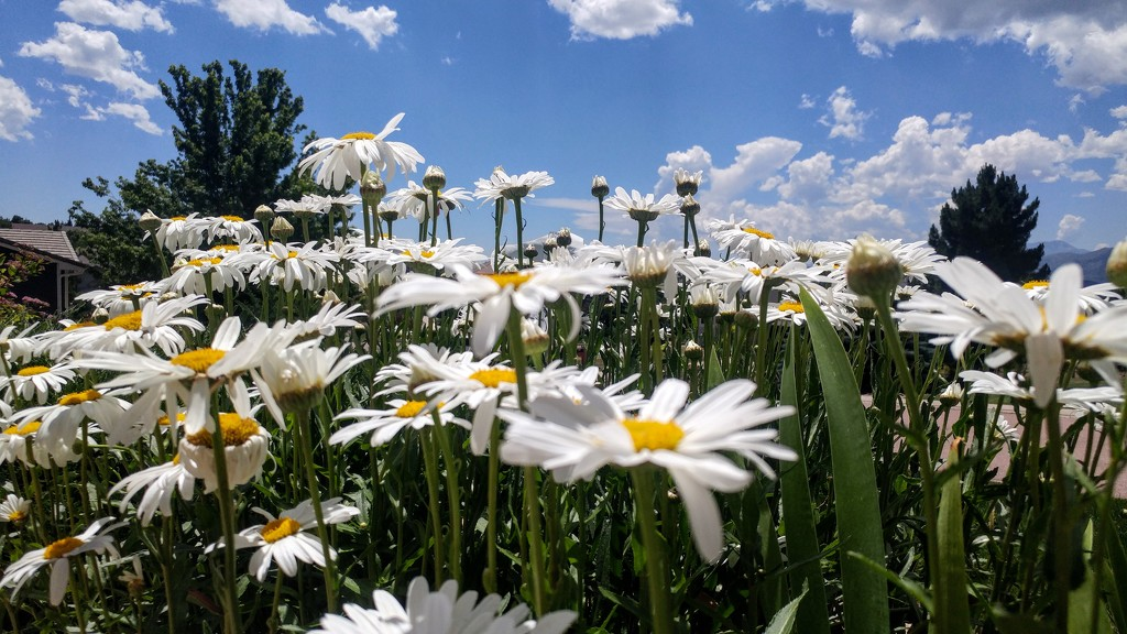 Shasta Daisies by harbie