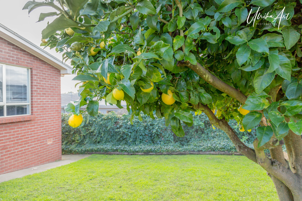 lemon tree by ulla