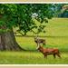 The Deer Park,Woburn Abbey
