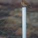 House Sparrow #2 by kgolab