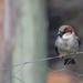 House Sparrow #1 by kgolab