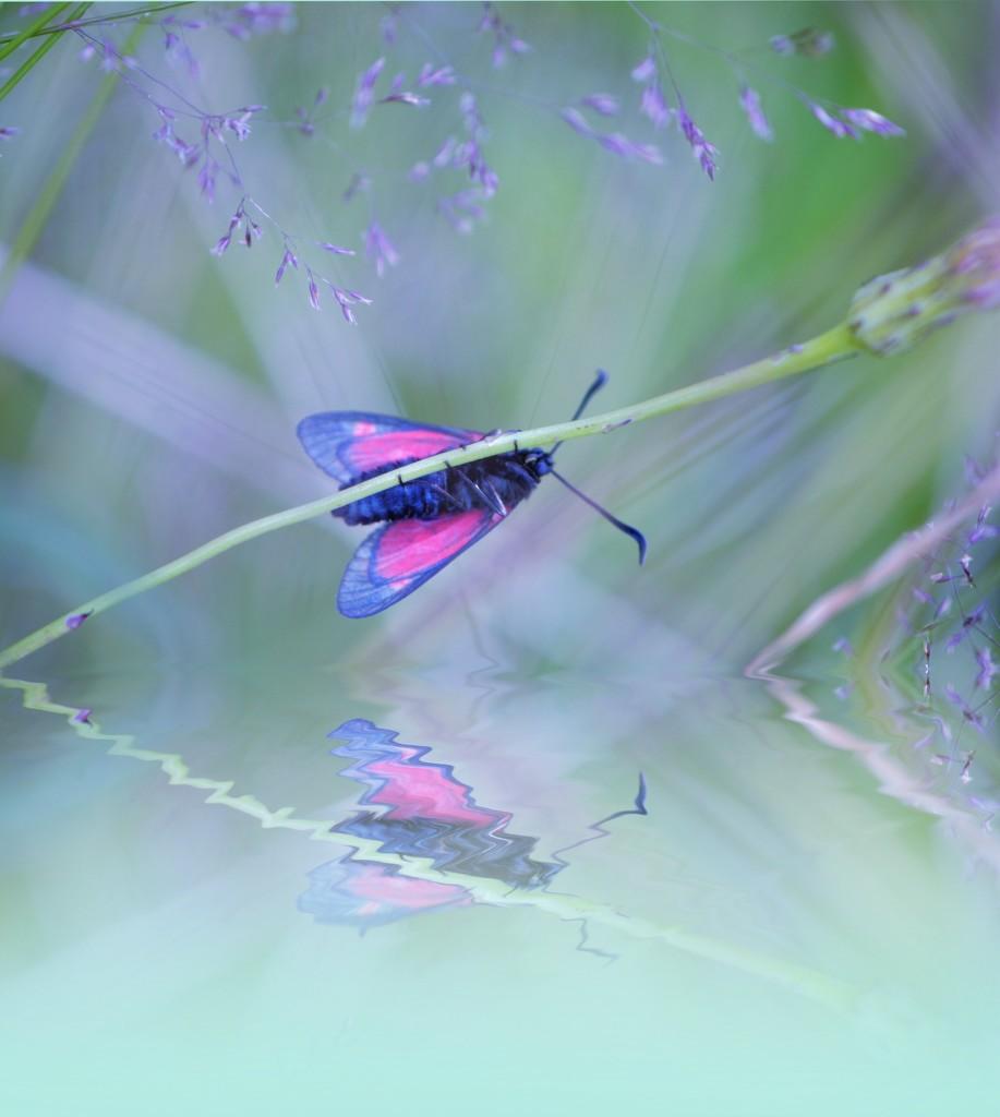 Six spot Burnett Moth........... by ziggy77