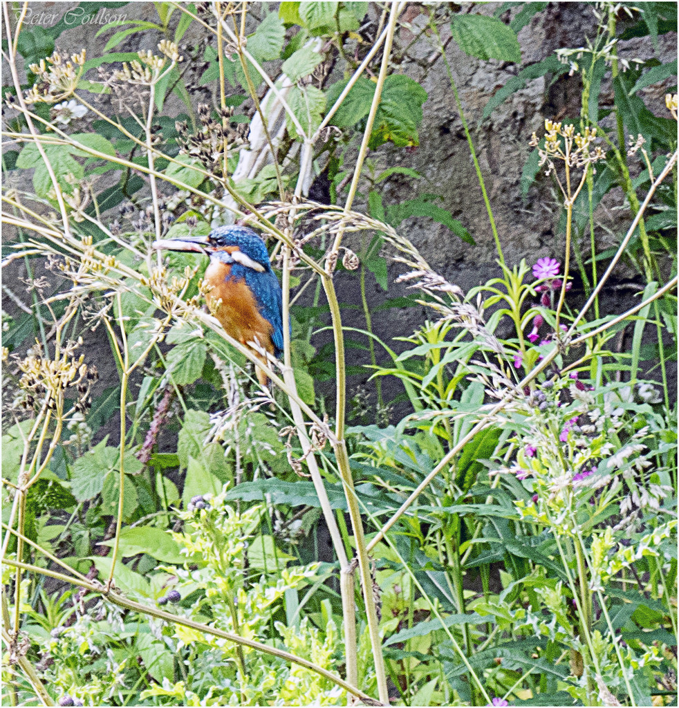 Kingfisher by pcoulson