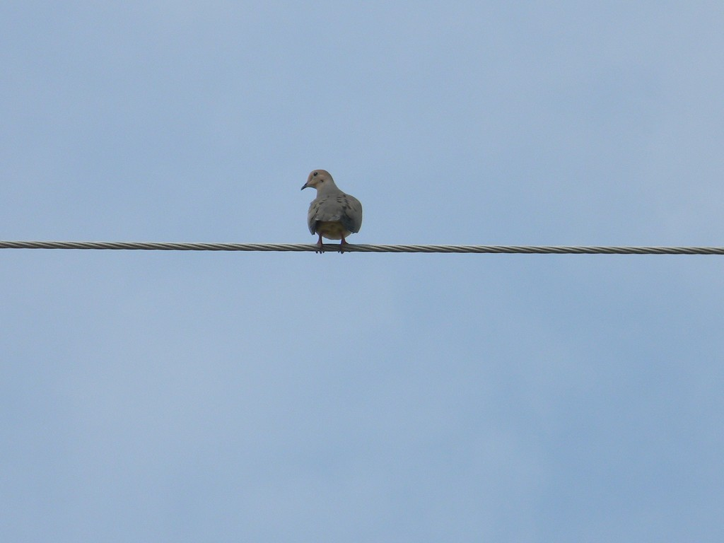 Mourning Dove on Wire by sfeldphotos