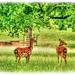 Fallow Deer,Woburn Deer Park