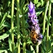 Lavender & A Bee ~