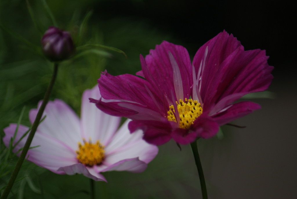 More cosmos by 365projectmaxine