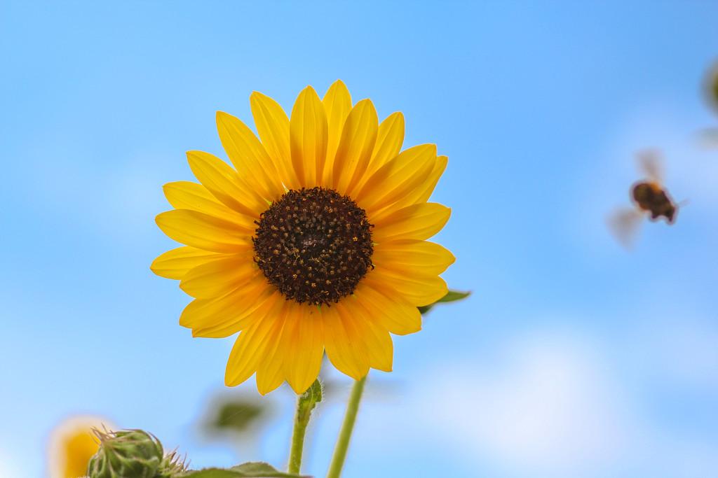 Sunflower in Sky by judyc57