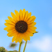 Sunflower in Sky