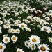 That's a lot of daisies!