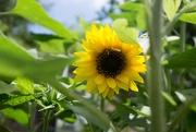 11th Jul 2019 - Sunflower