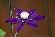 13th Jul 2019 - Purple Passionflower