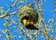 14th Jul 2019 - Weaver and his nest