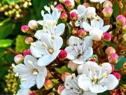 14th Jul 2019 - Flowers Viburnum Tinus 'Lucidum'