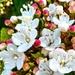 Flowers Viburnum Tinus 'Lucidum'