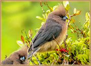 14th Jul 2019 - These Mouse birds are so funny,
