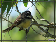 12th Jul 2019 - Grey Fantail