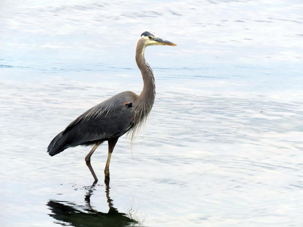 Friendly Blue Heron by seattlite