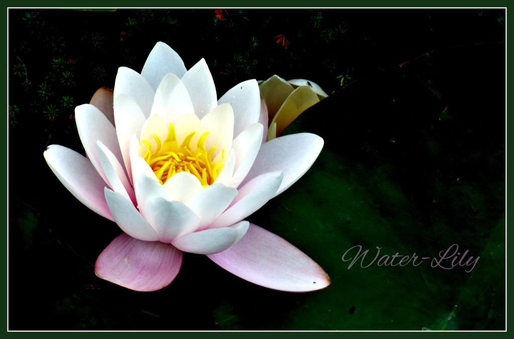 Water-Lily by beryl