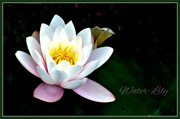 14th Jul 2019 - Water-Lily