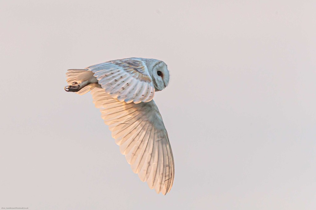 Barn Owl on the search for food. by padlock