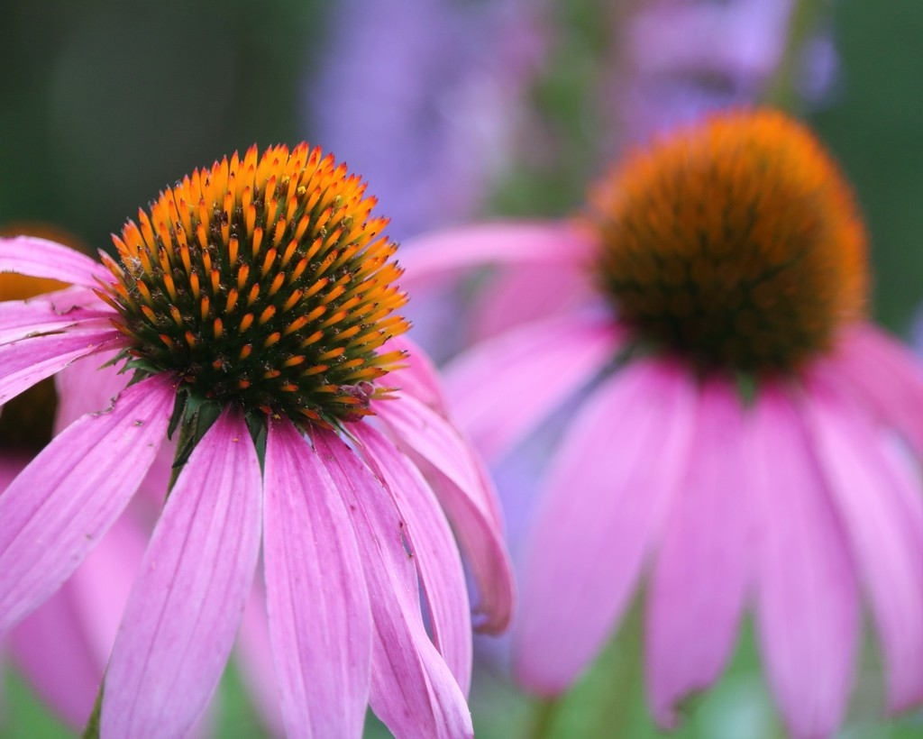 July 14: Cone Flowers by daisymiller