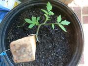 14th Jul 2019 - Tomato Plant
