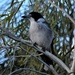 Juvenile Butcher Bird ~