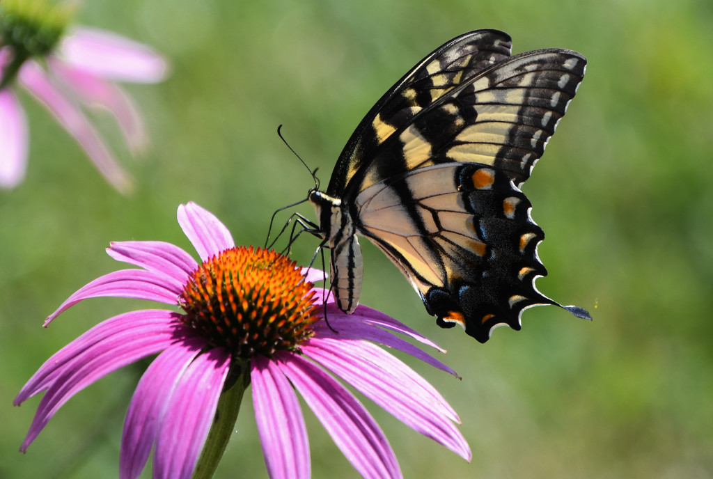 Swallowtail on Coneflower by kareenking
