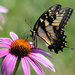 Swallowtail on Coneflower by kareenking