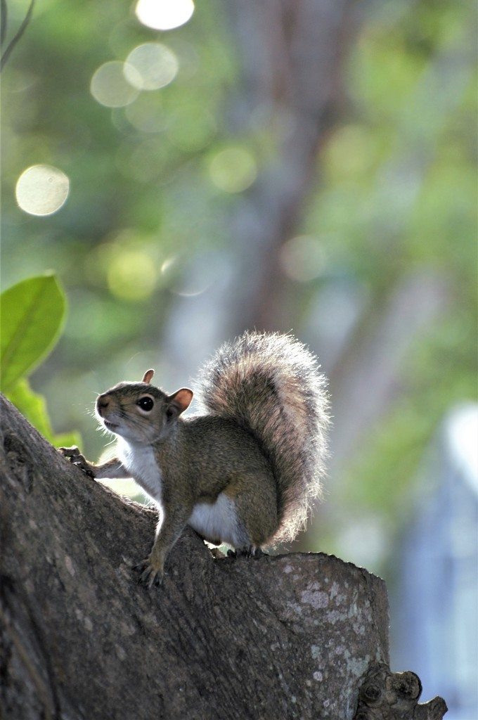 Squirrel by chejja