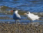 15th Jul 2019 - Two Terns