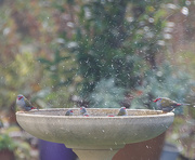 12th Jul 2019 - Little Finches having a bath