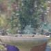 Little Finches having a bath by fr1da