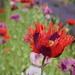 a poppy amongst poppies...