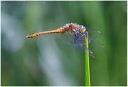14th Jul 2019 - Ruddy Darter