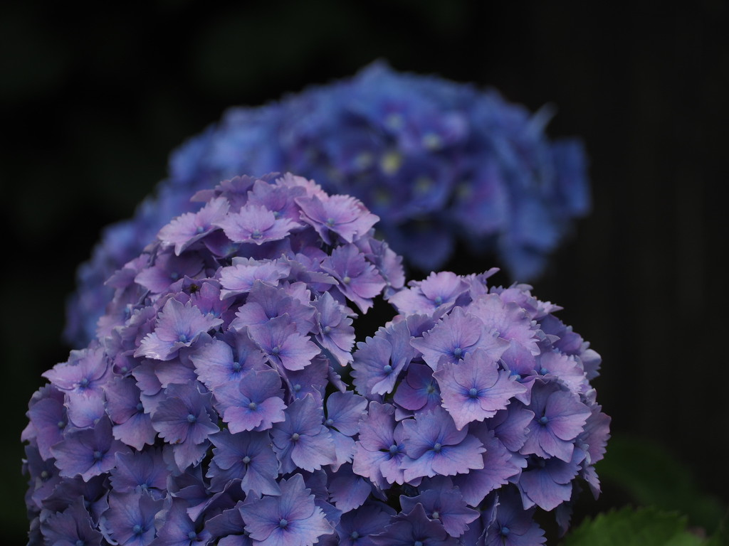 Hortensia by jacqbb