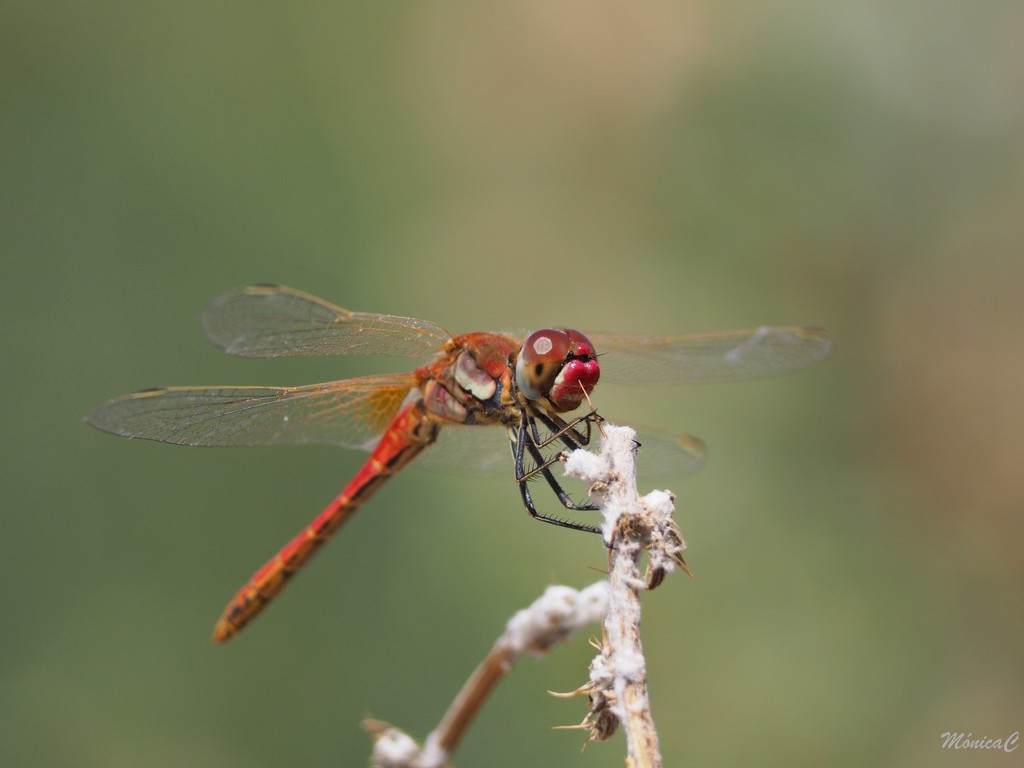 Red dragonfly by monicac