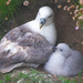 Fulmar & Chick by lifeat60degrees