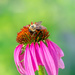 bee enjoying a cone flower
