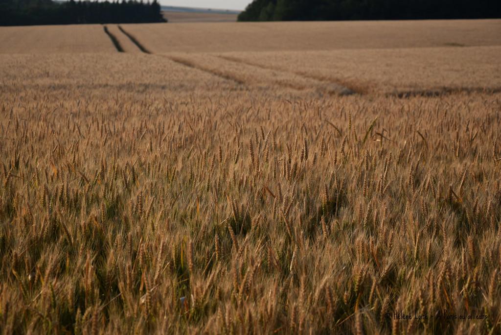 wheat field by parisouailleurs