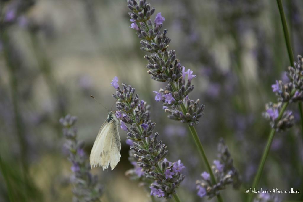 white butterfly by parisouailleurs