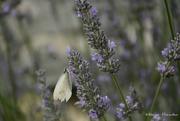 14th Jul 2019 - white butterfly