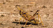 15th Jul 2019 - Eastern Lubber Grasshopper Crossing the Sidewalk!