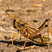 Eastern Lubber Grasshopper Crossing the Sidewalk!