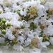 White Crepe Myrtle