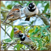 16th Jul 2019 - Mr and Mrs Cape Sparrow