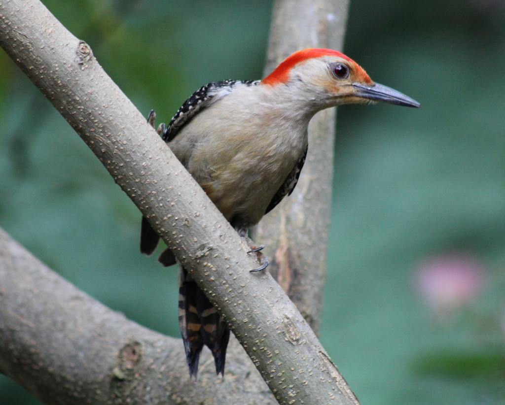 I Love This Woodpecker by cjwhite